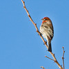 Male House Finch---a daily visitor to our feeder.