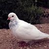 Rock Dove, a.k.a. Pigeon (la Paloma Blanca).