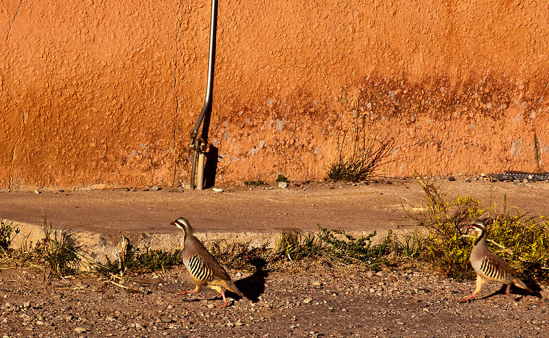 Chukars in Truchas, NM; an unusual sight.