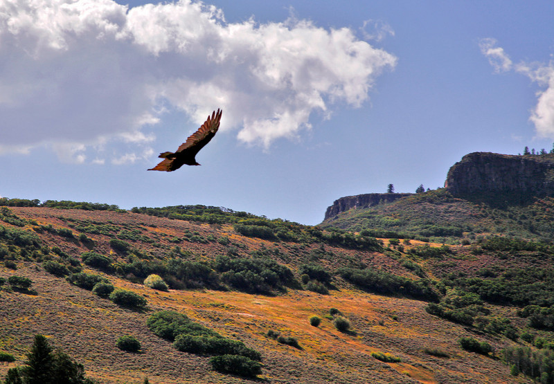 Turkey Vulture---although this photo was taken near Gunnison, CO we have this bird in New Mexico as well.
