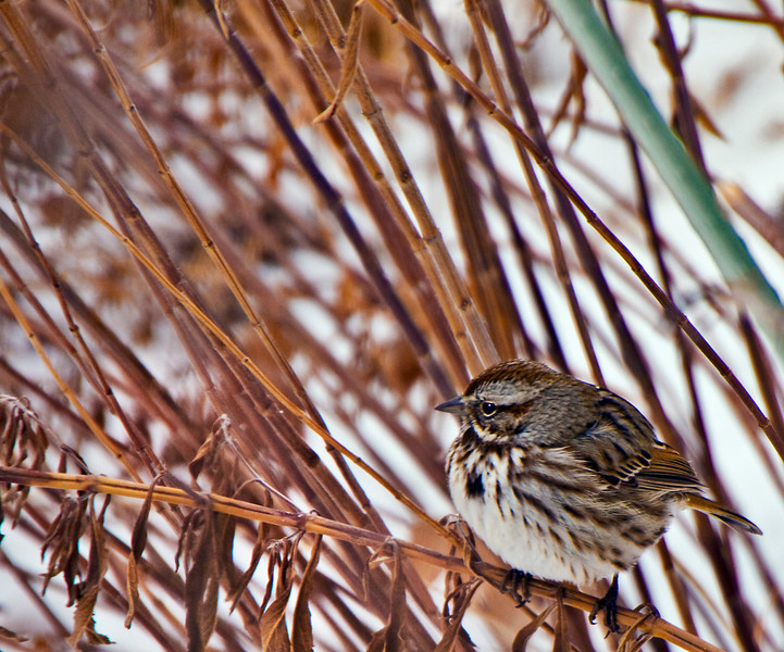 Song Sparrow, puffed up for warmth.