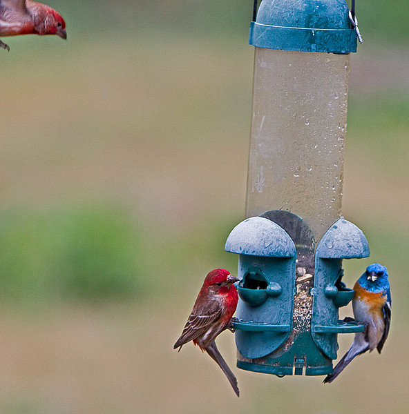 Lazuli Bunting gets unwelcome company from some House Finches.
