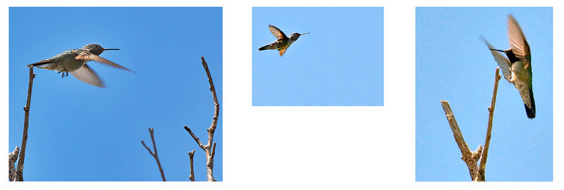 Hummingbird flying from one tree top to another.