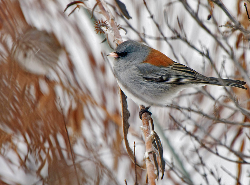 Gray-headed Junco on a cold winter's morning.