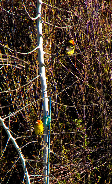 Western Tanagers.
