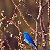 Mountain Bluebird in our apricot tree.