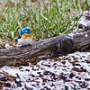 Lazuli Bunting after being pushed away from breakfast. By the way, that is snow, and it is May 24th