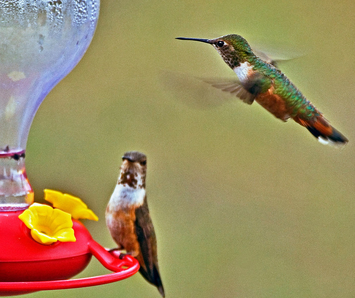 """Rufous Hummingbird---""""May I join you for breakfast?"""""""