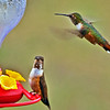 "Rufous Hummingbird---""May I join you for breakfast?"""