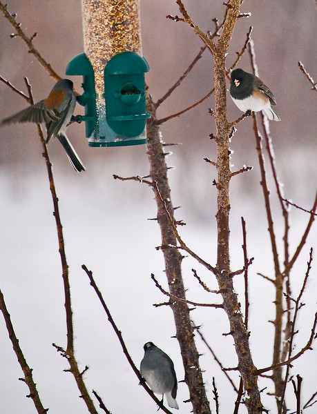 Juncos feeding---Gray-Headed on the left and below, Dark-Eyed on the right .