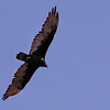 Turkey Vulture soaring.