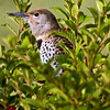 Male Northern Flicker, getting some cherries.