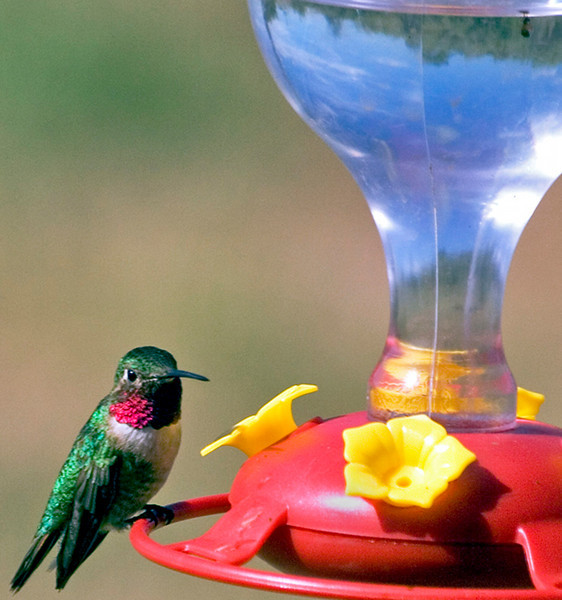 Ruby-throated Hummingbird, dining alone.