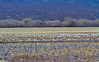 Late afternoon---Snow Geese and Sandhill Cranes in the field; ducks and Canada Geese in the marsh.