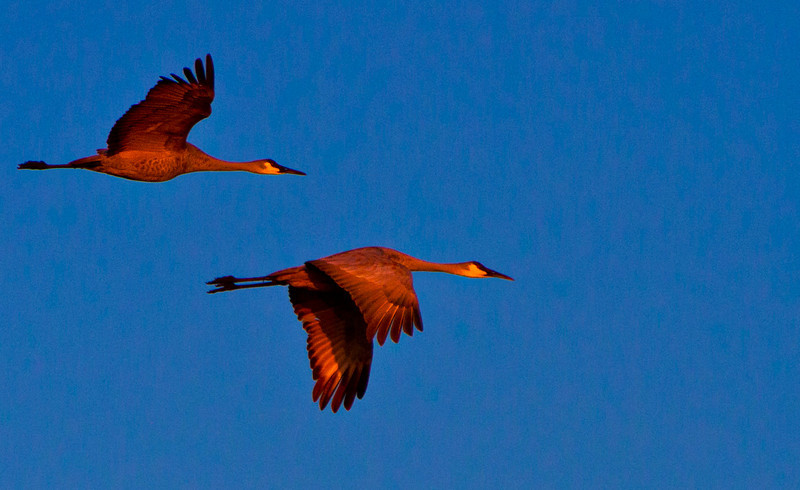 These normally gray Sandhill Cranes pick up the warm light of the early dawn.