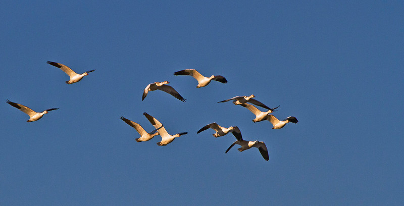 Snow Geese off for another day of flying and eating.