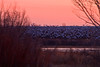 Dawn is coming and with much flapping and squawking the Snow Geese take to the sky.