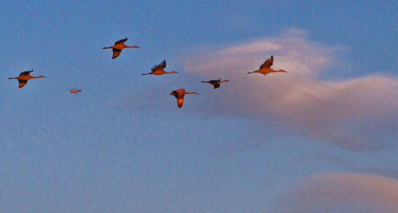 Sandhill Cranes and helicopter, their grey bodies catching the newly risen Sun's warm light.
