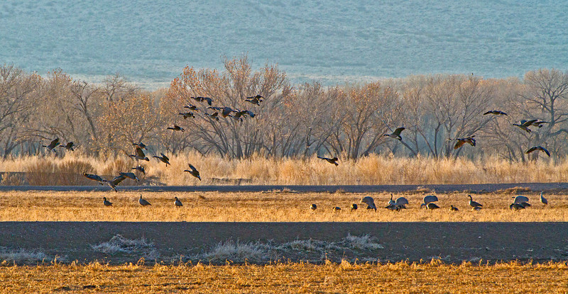 Canada Geese taking off leaving the Sandhill Cranes behind.