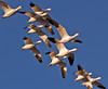 Snow Geese in a tight formation.