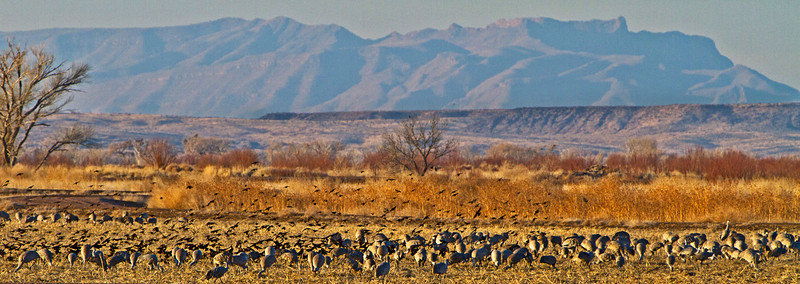 Sandhill Cranes with Red Wing Blackbirds in the background.