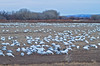 A week or so earlier, the Snow Geese count was over forty thousand. (Just count the number of legs, and divide by two---easy.)