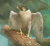 American Kestrel with a broken wing