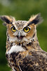 GreatHorned_owl_WH_10 copy