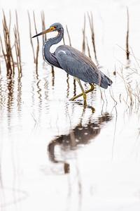 Blue Heron Copyright 2020 Steve Leimberg UnSeenImages Com _Z2A4388