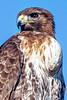 Hawk - Copyright 2017 Steve Leimberg - UnSeenImages Com _Z2A4032