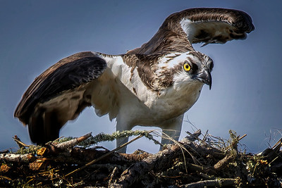 Osprey in Nest_Copyright 2020 Steve Leimberg UnSeenImages Com H1R9831 copy