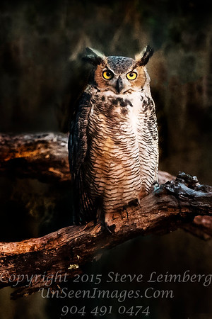 Owl on Harry Branch's Branch  - Copyright 2016 Steve Leimberg - UnSeenImages Com _Z2A4240