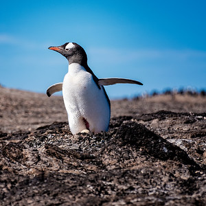 Penguin and Egg Copyright 2020 Steve Leimberg UnSeenImages Com _DSF9459
