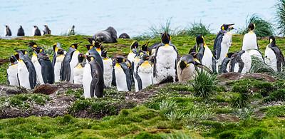 Penguins on Parade Copyright 2020 Steve Leimberg UnSeenImages Com _DSC2827