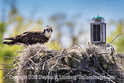Guarding Nest Copyright 2019 Steve Leimberg UnSeenImages Com _A6I9756