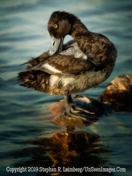 Duck - Copyright 2015 Steve Leimberg - UnSeenImages Com _M1A9317