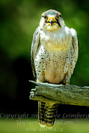 Lanner  Falcon Copyright 2018 Steve Leimberg UnSeenImages Com _Z2A4495