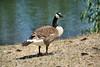 Canada Geese - Vasona Park (38) D