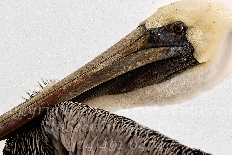 Pelican on the Incline - Copyright 2015 Steve Leimberg - UnSeenImages Com _M1A4055