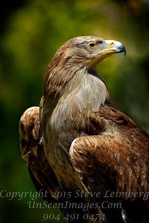 Tawney Eagle Copyright 2018 Steve Leimberg UnSeenImages Com _Z2A4548