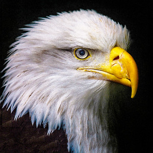 Eagle Profile Copyright 2021 Steve Leimberg UnSeenImages Com_Z2A6095 copy