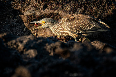 Lava Heron With Lunch Copyright 2020 Steve Leimberg UnSeenImages Com_DSC0549