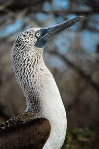 Blue-Footed Boobie Profile Copyright 2020 Steve Leimberg UnSeenImages Com _DSC0056