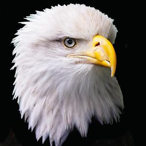 Eagle has Landed x Juneau Alaska Copyright 2021 Steve Leimberg UnSeenImages Com _Z2A6239 copy
