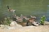 Canada Geese - Vasona Park (68) D