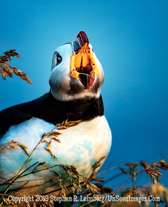 Puffin Calling for Phillip Morris Copyright 2019 Steve Leimberg UnSeenImages Com _Z2A9475