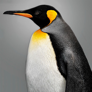 Proud Penguin Copyright 2020 Steve Leimberg UnSeenImages Com _DSC3485
