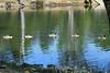 Canada Geese - Vasona Park (24) D