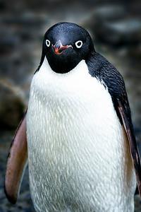 Penguin up Close  Copyright 2020 Steve Leimberg UnSeenImages Com _DSC9571
