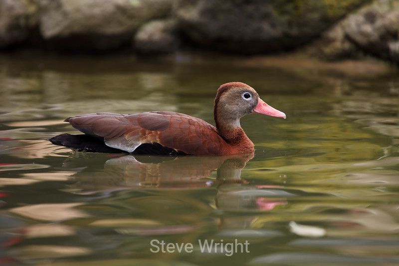 Black-bellied Whistling Duck - SF Zoo #6302